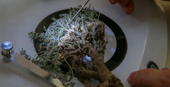 Erzurum'da yeni bitki türü bulundu